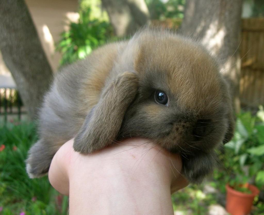 Holland Lop Bunny Conejo