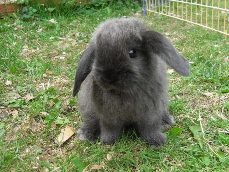 Mini Lop Bunny Conejo Belier enano