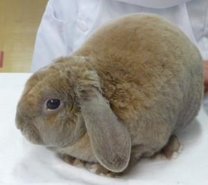 Plush Lop Bunny
