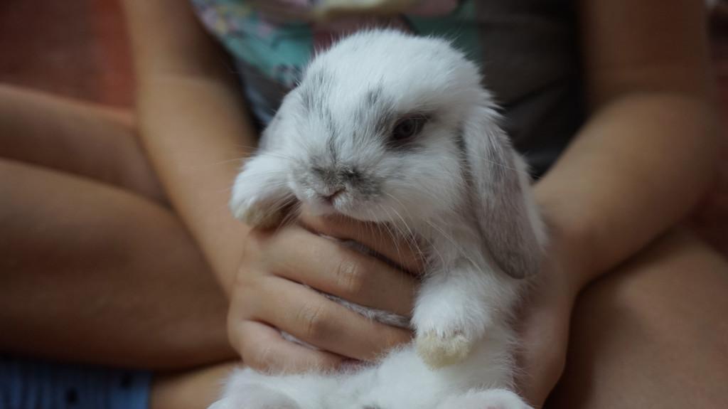 conejo-belier-domestico