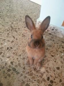 Adiestrar conejo
