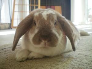American Fuzzy Lop Bunny