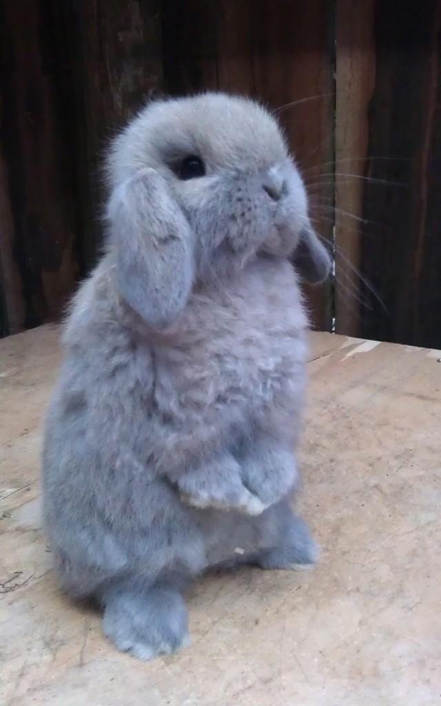 Cashmere Lop Conejo