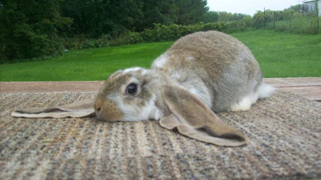 English Lop Bunny