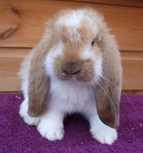 French Lop Bunny Conejo
