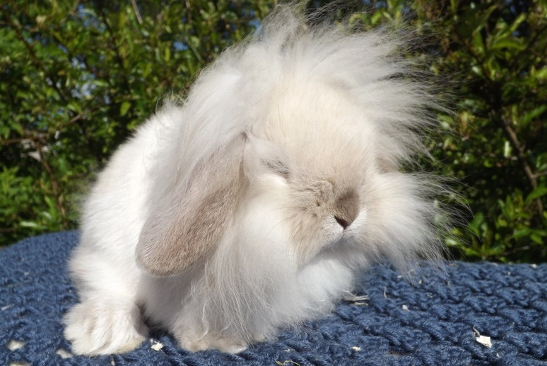 Mini Lion Lop Bunny Conejo